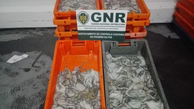 GNR apreende 300 kg de polvo. Sabe o que está em causa?