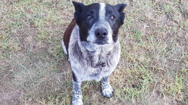Max, o cão surdo e quase cego de 14 anos que salvou uma menina de três
