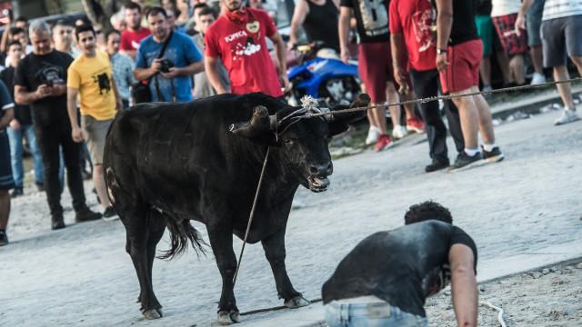 Touro de 450 quilos chega a Ponte de Lima tradição de 'Vaca das Cordas'