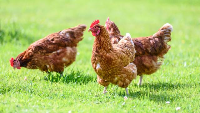 SABIA QUE as galinhas também sentem?