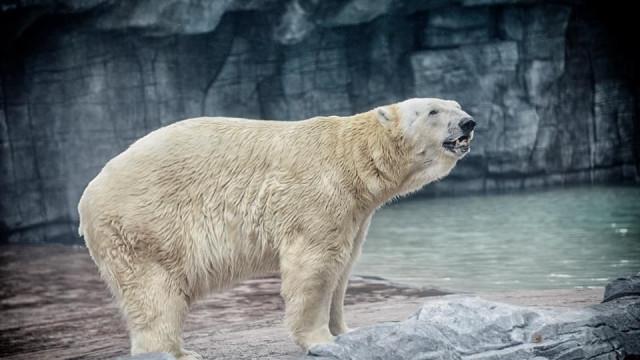 Morreu o último urso polar tropical do mundo