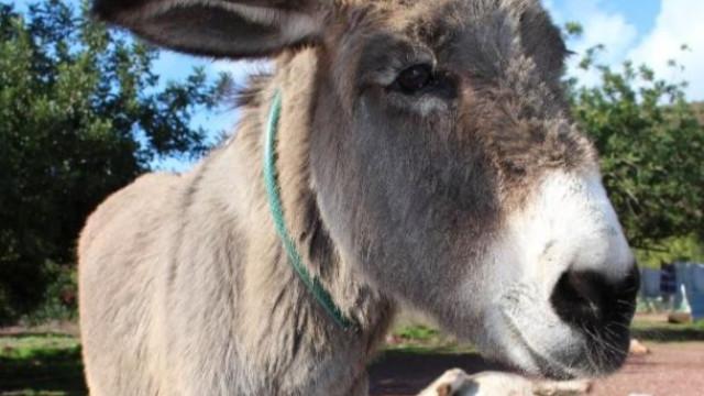 SABIA QUE havia quem achasse que beijar um burro curava dor de dentes?