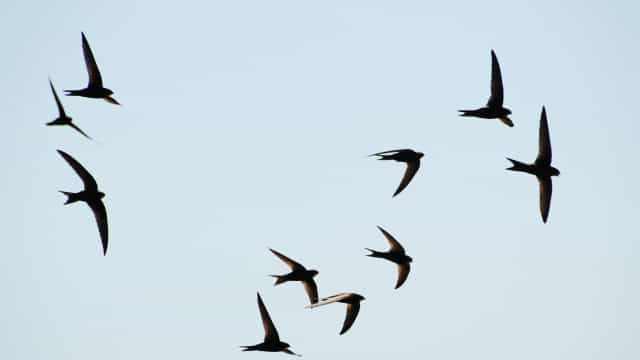 SABIA QUE esta ave pode viajar 3 milhões de quilómetros ao longo da vida?