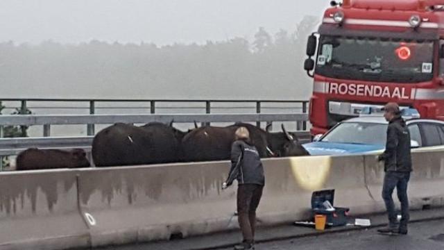 Autoridades obrigadas a ir buscar grua para tirar búfalos de autoestrada