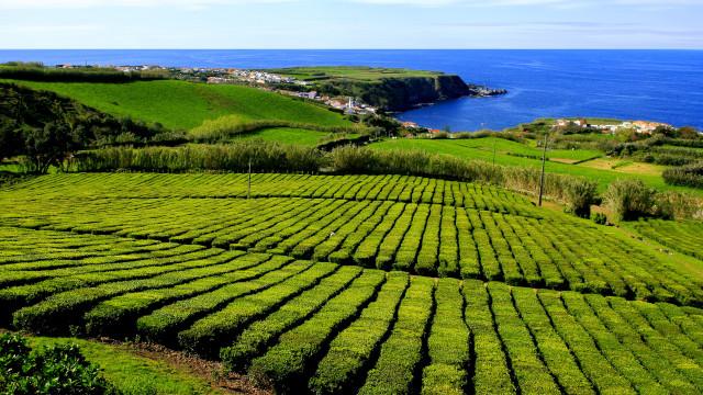 Descoberta no chá dos Açores substância que combate demências
