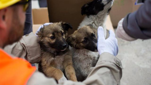 Cachorros resgatados de Chernobyl vão ser adotados