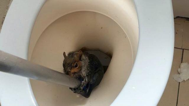 Esquilo resgatado depois de cair e ficar preso dentro de sanita