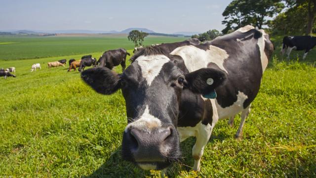 SABIA QUE as vacas escolhem os melhores amigos e sofrem com a sua perda?
