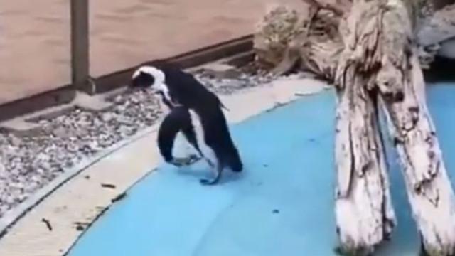 Pinguim bem tenta mas não consegue apanhar borboleta