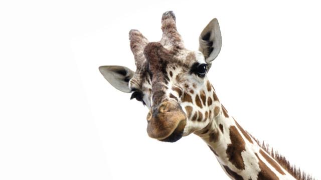 SABIA QUE uma girafa pode limpar as orelhas com a língua?