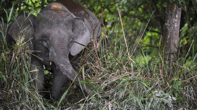 Em poucas semanas, seis elefantes-pigmeu encontrados mortos no Bornéu