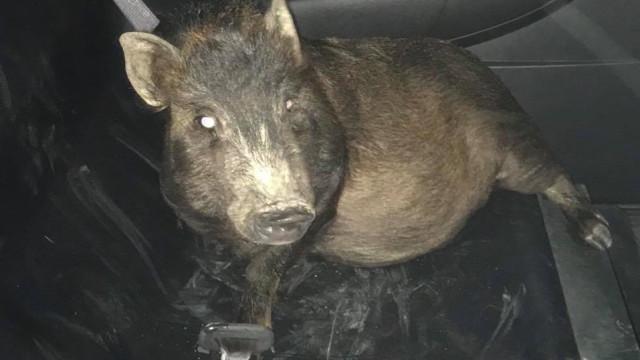 Ligou à polícia por estar a ser perseguido por porco. Animal queria mimo