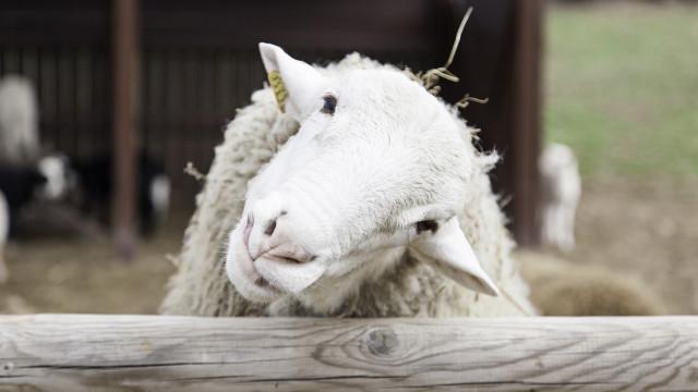 SABIA QUE as ovelhas abanam a cauda ao estarem felizes tal como os cães?