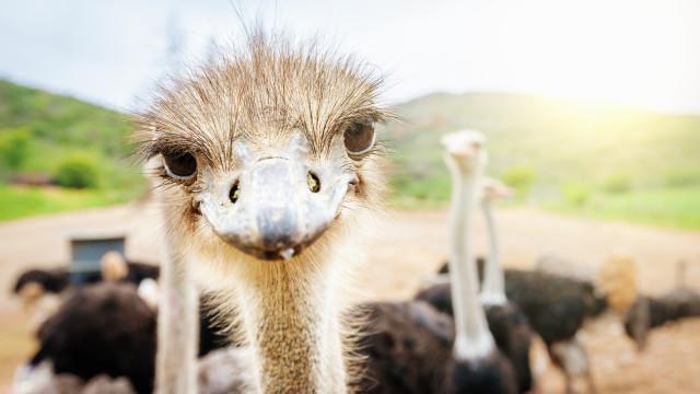 SABIA QUE as avestruzes que as avestruzes macho podem rugir como leões?