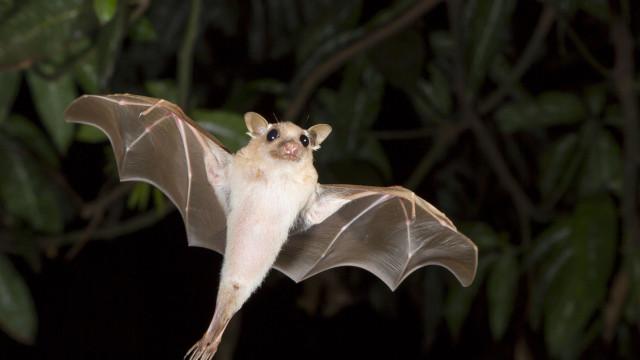 SABIA QUE os morcegos são os únicos mamíferos que podem voar?