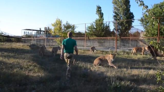 Tratador de zoo separa luta de leões com nada mais do que... um chinelo