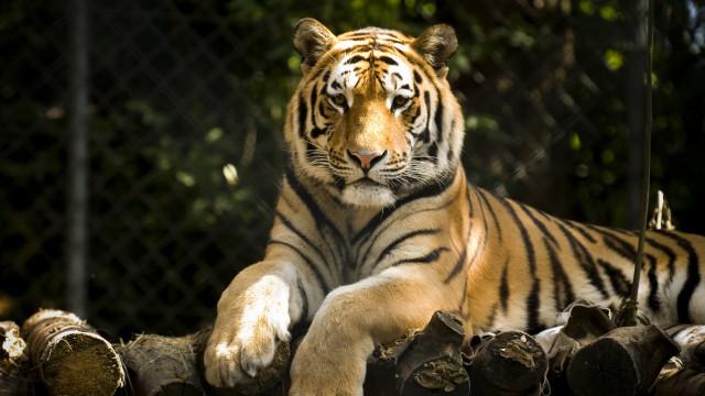 SABIA QUE não há dois tigres que tenham as mesmas listas?