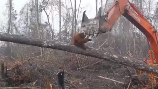 Orangotango enfrenta retroescavadora na Indonésia