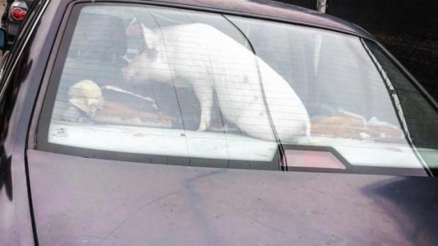 Ramone, o porco resgatado de dentro de um carro nos EUA