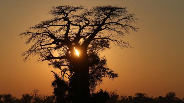 Árvores mais velhas de África estão a morrer. Cientistas preocupados