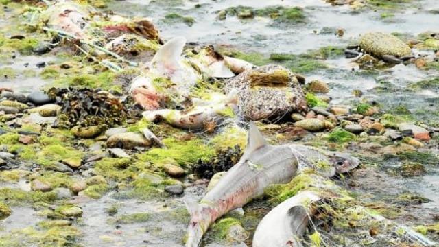 Mais de 400 tubarões mortos deram à costa em praia francesa