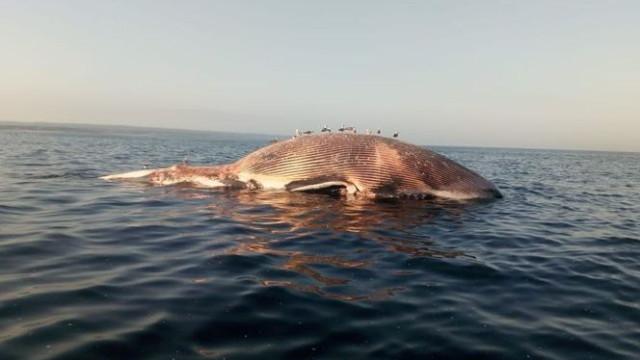 Baleia morta à deriva em praia da Costa de Caparica
