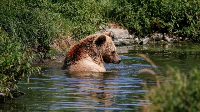 Urso-pardo mata homem e fere outro nos EUA