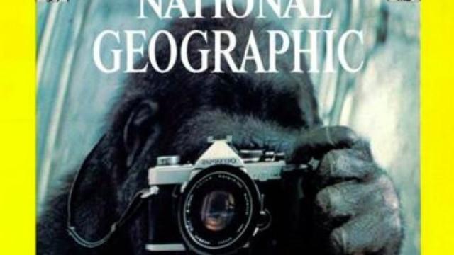 National Geographic recorda gorila Koko partilhando a sua primeira capa