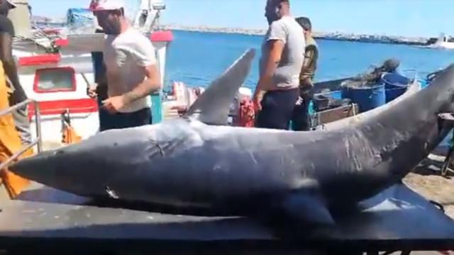 Tubarão de quase meia tonelada pescado ao largo de Sesimbra