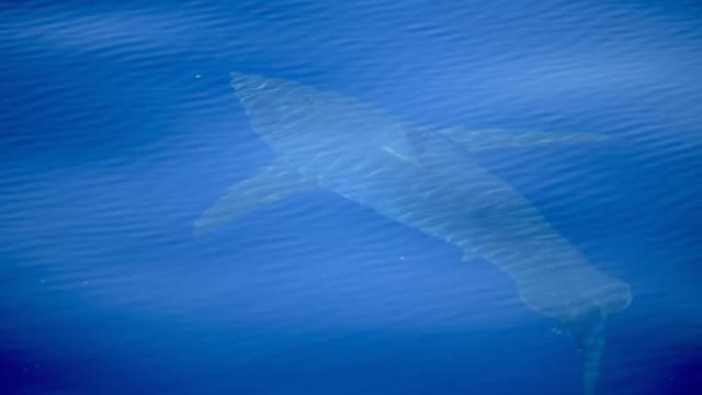 """""""Avistamento histórico"""" de tubarão branco perto de Maiorca"""