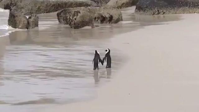 Gosta de passeios românticos à beira-mar? E de pinguins? Vai gostar disto