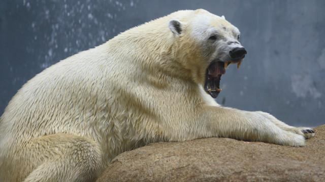 Morreu Tongki, o último urso polar da Coreia do Sul