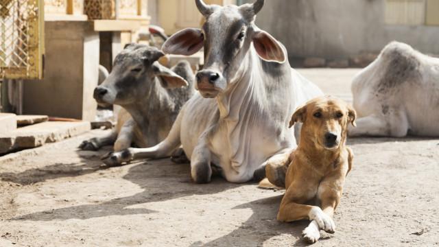 Agricultor morre a tentar salvar vaca. Cão morreu a tentar salvar o dono