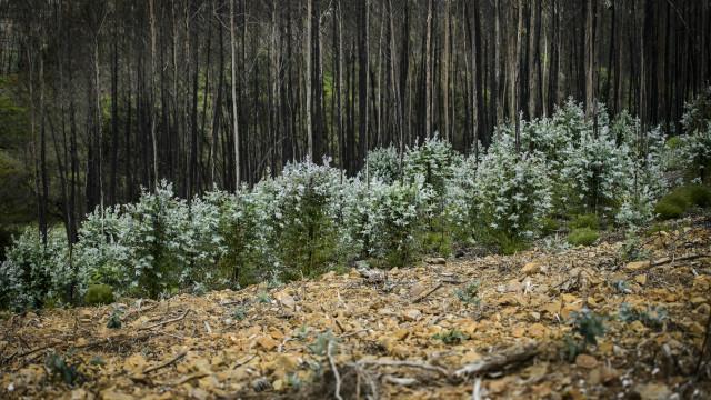 Tejo: Alterações climáticas vão tornar cultivo do eucalipto impraticável