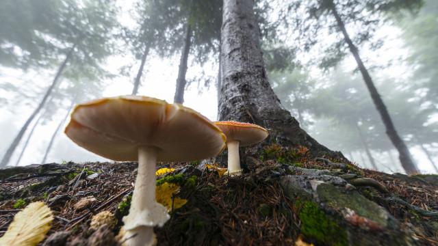 """Intoxicação por ingestão de cogumelos """"não é rara"""". Sabe o que fazer?"""