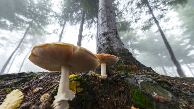 Descoberta. Cogumelos alucinogénios ajudam a curar esta doença