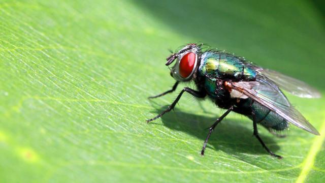 Larvas de mosca substituem antibióticos no tratamento de feridas crónicas