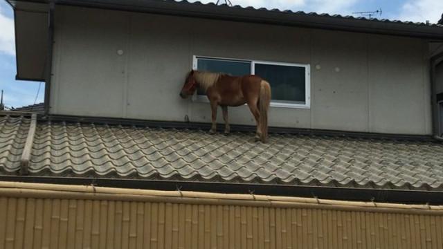 Pónei desaparecido durante cheias é encontrado... em cima de telhado