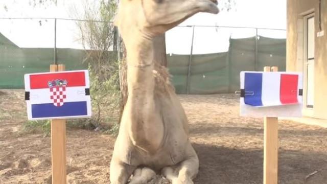 Agora foi um camelo. Está revelado quem será o vencedor do Mundial