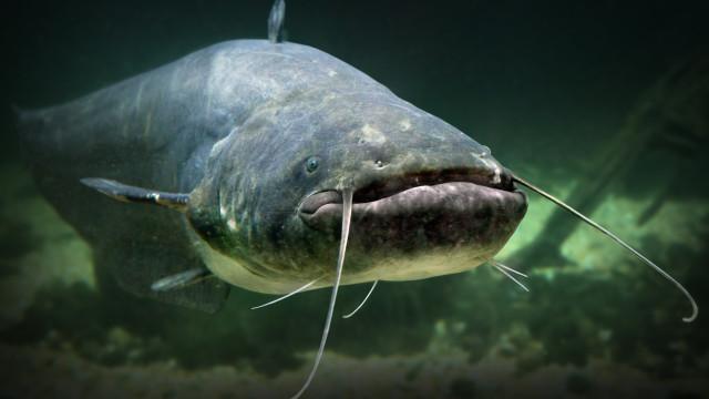 Peixe-gato gigante comeu todos os peixes e vários patos de um lago