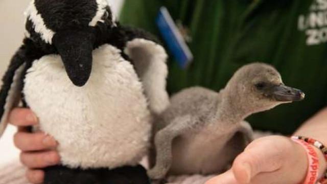 Pinguim vira arco-íris de esperança no zoo de Londres