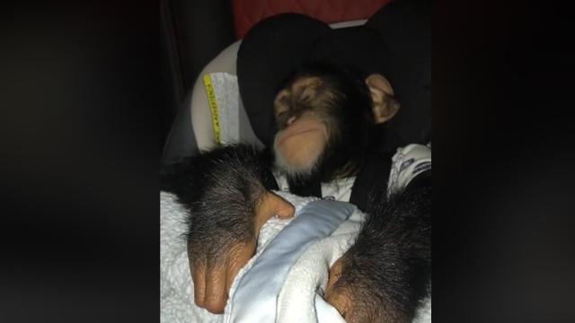 Este chimpanzé que acha que é um bebé é tudo o que precisa de ver hoje