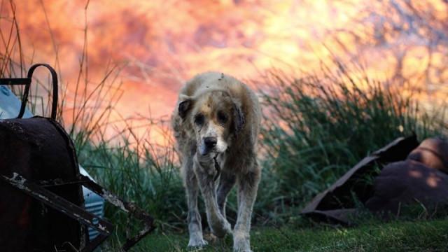 Também os animais foram vítimas dos fogos na Grécia. Saiba como ajudar