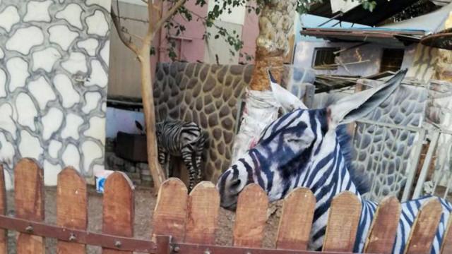 Jardim Zoológico no Cairo acusado de pintar burros para parecerem zebras
