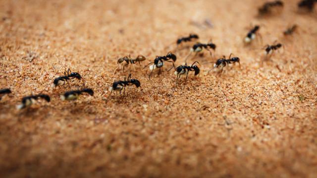 SABIA QUE as formigas comunicam entre si através de um protocolo?
