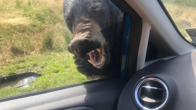 O momento em que um urso 'ataca' o carro de uma família no Reino Unido