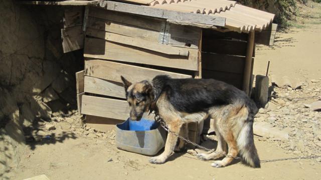 Cão acorrentado e vítima de maus-tratos resgatado pela GNR em Bragança