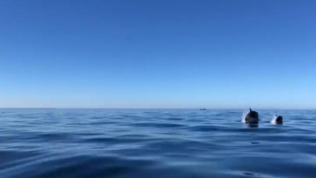 """Família de orcas avistada ao largo da costa algarvia. """"Foi único"""""""