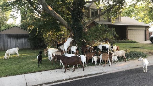 Estes subúrbios nos EUA foram invadidos por... mais de cem cabras