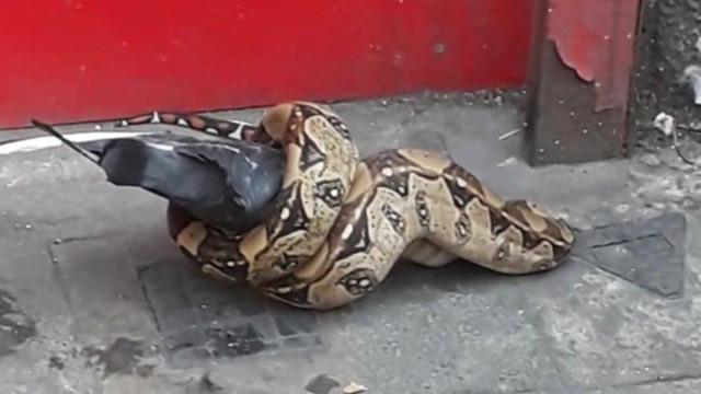 Transeuntes londrinos surpreendidos por jibóia a atacar pombo